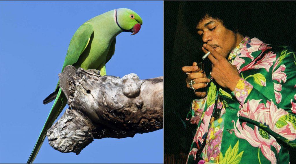 Jimi Hendrix & parakeet