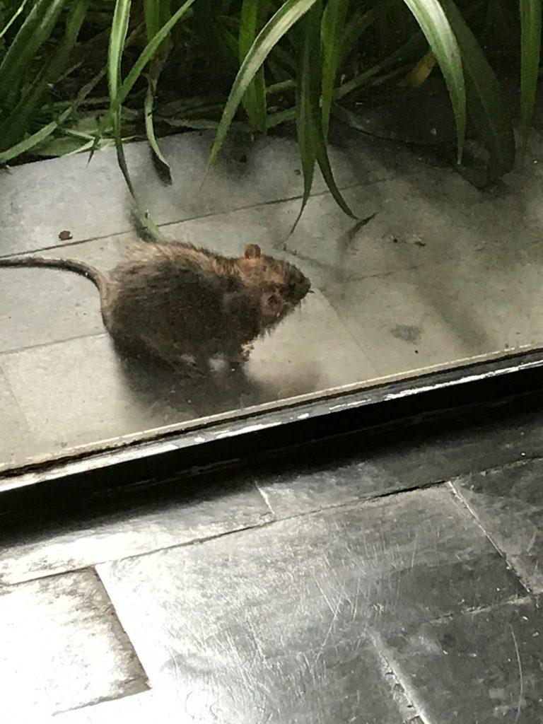 Le rat devant chez moi